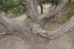 Árbol de los troncos del entrelazamiento en el parque Imagen de archivo