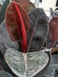 ÁRBOL DE MADERA DE /RUBBER DE LA HIGUERA DE /RUBBER DEL ÁRBOL DE GOMA Imagen de archivo libre de regalías