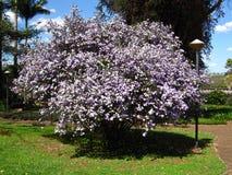 Árbol de Manaca Fotografía de archivo libre de regalías