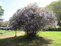 Árbol de Manaca Imagen de archivo libre de regalías