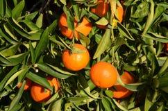 Árbol de mandarín Fotos de archivo libres de regalías