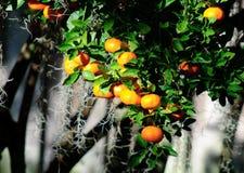 Árbol de mandarina imagen de archivo libre de regalías