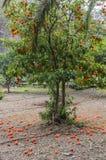 Árbol de mandarina Fotos de archivo