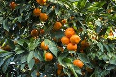 Árbol de mandarina Imágenes de archivo libres de regalías