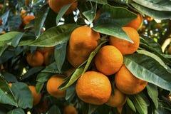 Árbol de mandarina Fotografía de archivo libre de regalías