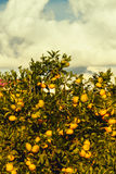 Árbol de mandarina con el primer maduro de las frutas del fondo del cielo Foto de archivo libre de regalías