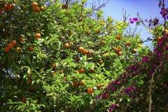 Árbol de mandarina con las frutas Imágenes de archivo libres de regalías