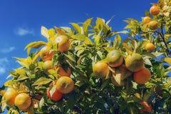 Árbol de mandarina con las frutas maduras Foto de archivo libre de regalías