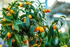 Árbol de mandarina decorativo, mandarinas maduras en una rama foto de archivo