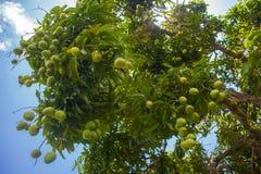 Árbol de mango Imágenes de archivo libres de regalías
