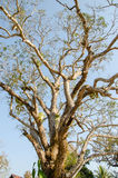 Árbol de mango de 100 años Fotos de archivo libres de regalías
