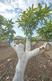 Árbol de mango de CoopGrafting del pollo fotos de archivo
