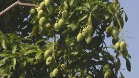 Árbol de mango verde en el viento