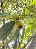 Árbol de mangostán foto de archivo