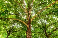 Árbol de mangostán Imagen de archivo