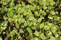 Árbol de Manzanita Fotos de archivo libres de regalías