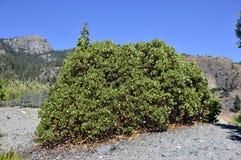 Árbol de Manzanita Fotografía de archivo libre de regalías