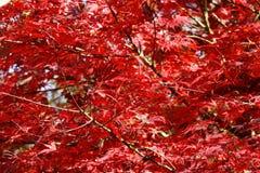 Árbol de Mapple durante otoño Fotos de archivo