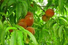 Árbol de melocotón con las frutas fotos de archivo