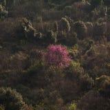 Árbol de melocotón en el flor que se coloca hacia fuera en el campo, Corfú, Grecia Fotografía de archivo libre de regalías