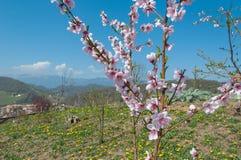 Árbol de melocotón en primavera Fotos de archivo