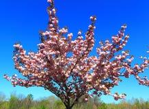 Árbol de melocotón floreciente fotos de archivo