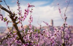 Árbol de melocotón floreciente en primavera foto de archivo