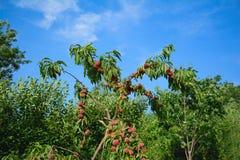 Árbol de melocotón por completo de frutas maduras Foco selectivo Imágenes de archivo libres de regalías