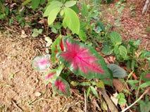 Árbol de membrillo coloreado y adornado del arum en la selva foto de archivo libre de regalías