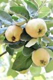 Árbol de membrillo que crece en el jardín Fotos de archivo