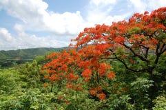 Árbol de Michillinda en San Juan Del Sur, Nicaragua Fotos de archivo