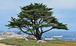Árbol de Monterey Cypress en arboleda pacífica Foto de archivo libre de regalías