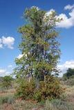 Árbol de Mopane (mopane de Colophospermum) Imagenes de archivo