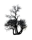 Árbol de mora Foto de archivo libre de regalías