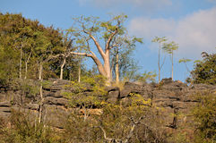 Árbol de Moringa Imagen de archivo libre de regalías