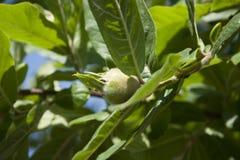 Árbol de níspero Fotografía de archivo libre de regalías
