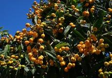 Árbol de níspero con las frutas numerosas foto de archivo libre de regalías