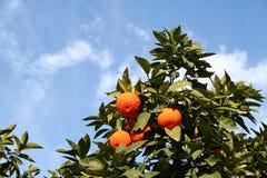 Árbol de naranjas Imágenes de archivo libres de regalías
