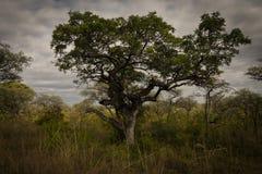 Árbol de navidad africano fotografía de archivo