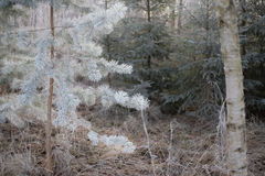Árbol de navidad congelado sobre fondo del bosque Fotografía de archivo libre de regalías