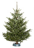 Árbol de navidad de Nordmann Imagen de archivo libre de regalías