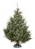 Árbol de navidad de Nordmann Foto de archivo