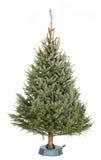 Árbol de navidad de Omorika Fotos de archivo