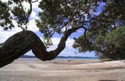 Árbol de navidad de Pohutukawa Nueva Zelandia Imagenes de archivo