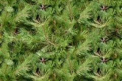 Árbol de navidad imperecedero fotografía de archivo libre de regalías