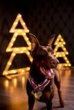 árbol de navidad sonriente feliz lindo joven del negro del beiside de la estancia del perro del doberman imágenes de archivo libres de regalías