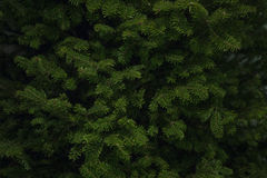 Árbol de navidad Spruce del bálsamo Imágenes de archivo libres de regalías