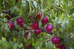 Árbol de nectarina Fotografía de archivo