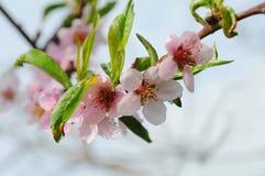 Árbol de nectarina en la floración Imagen de archivo libre de regalías