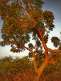 Árbol de Neem imagenes de archivo